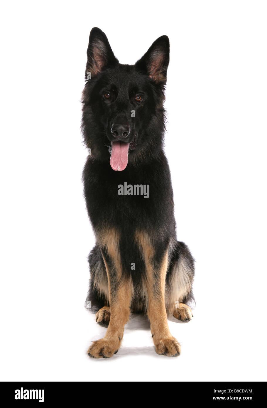 german shepherd dog sitting studio - Stock Image