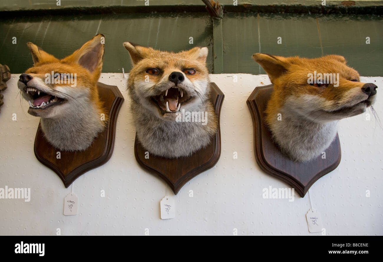 FOXES mounted heads - Stock Image