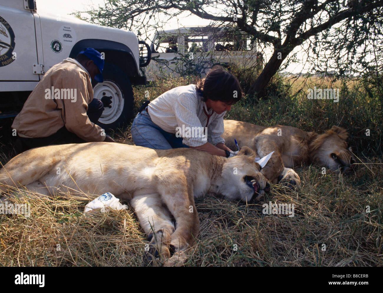 LION DISEASE - Stock Image