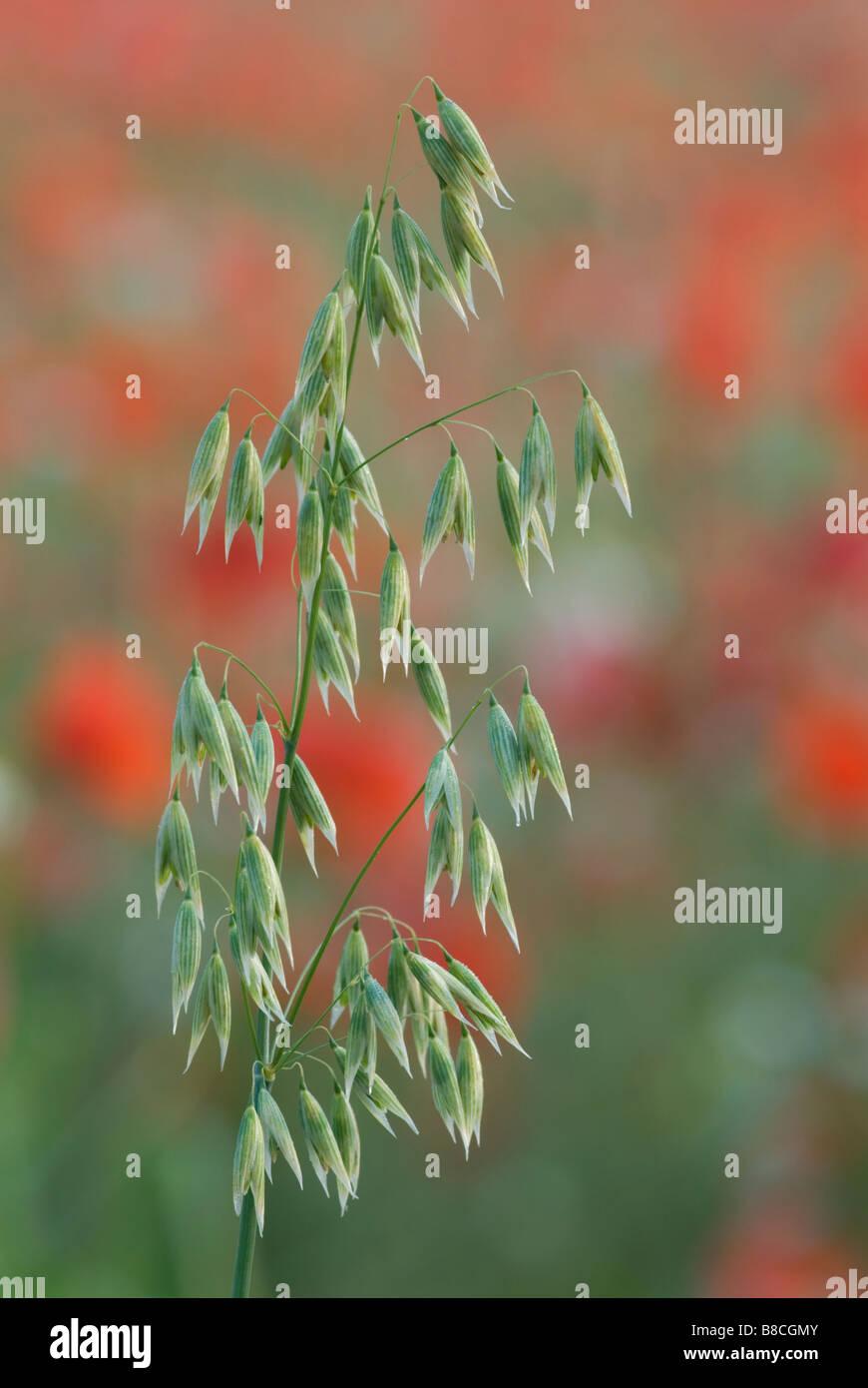 Wild oats Avena fatua in field of poppies Stock Photo