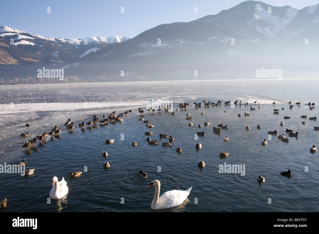 Zell am See Austria EU January Swans and wild fowl in a small area of clear water in the frozen Zeller See with - Stock Image