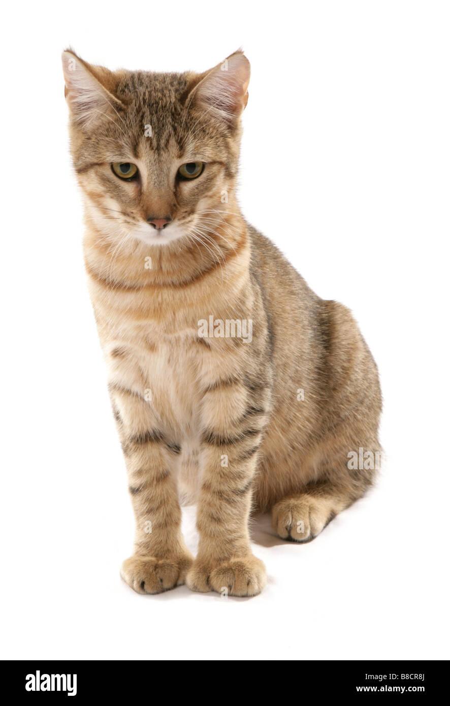 pixie bob cat sitting studio Stock Photo: 22409314 - Alamy