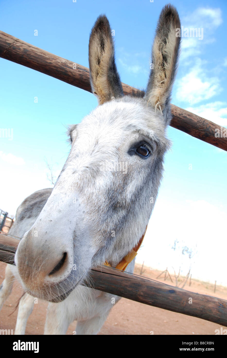 Donkey looking through a fence - Stock Image