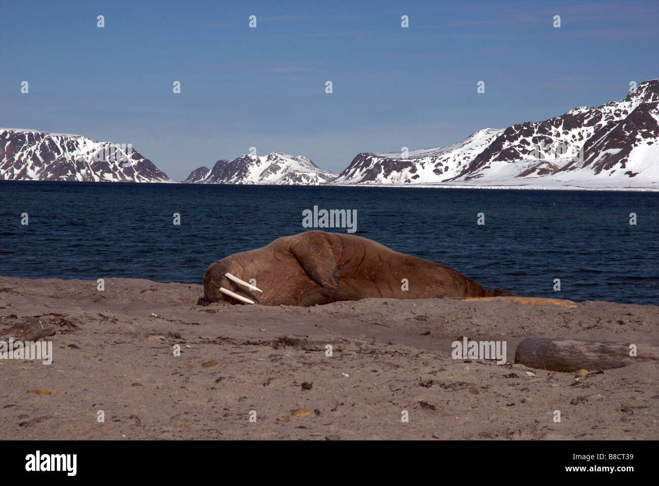 Life's a beach for this Walrus in Spitsbergen - Stock Image