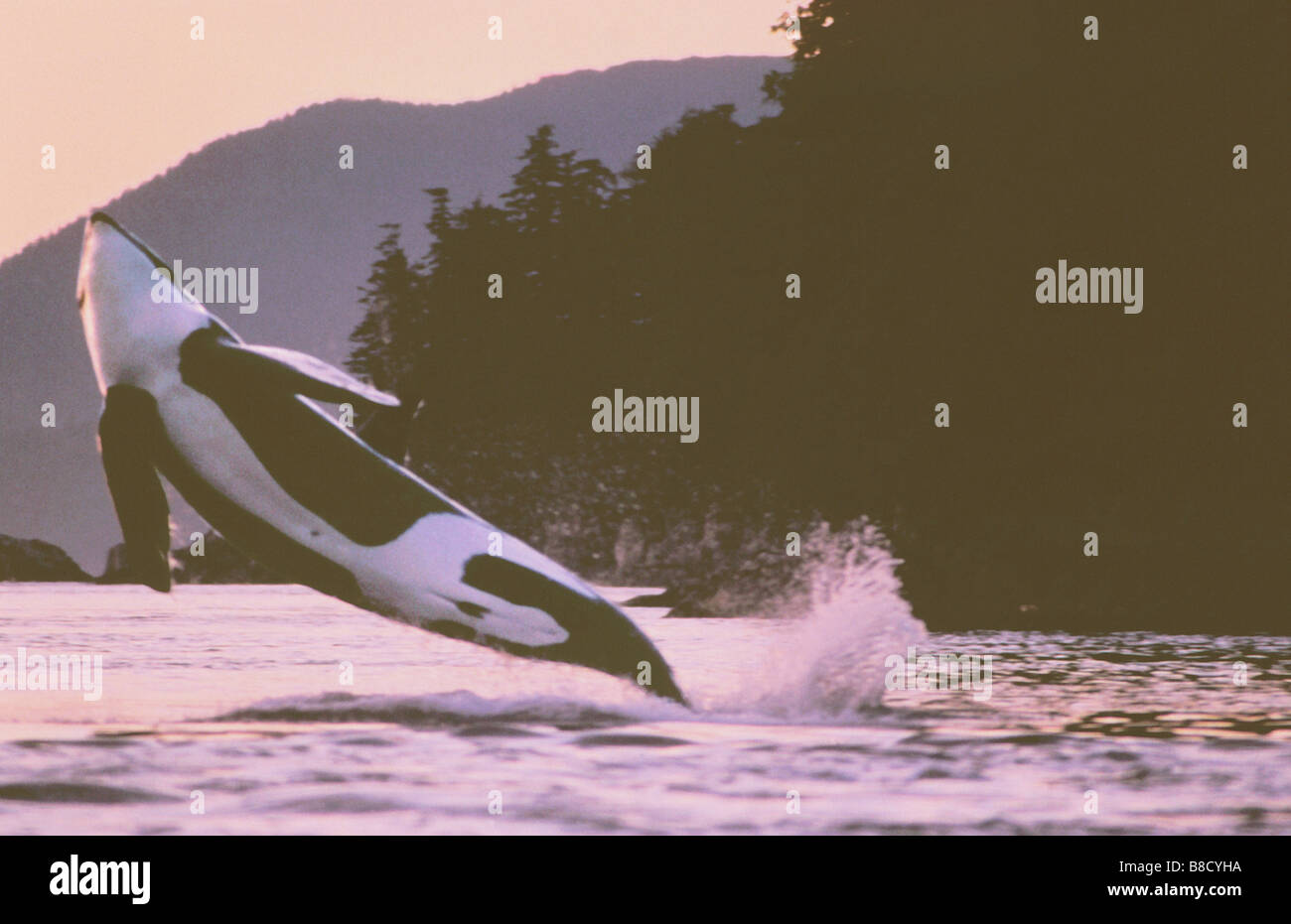 FV2255, Keith Douglas; Breaching Killer Whale (Orca), Prince Rupert BC - Stock Image