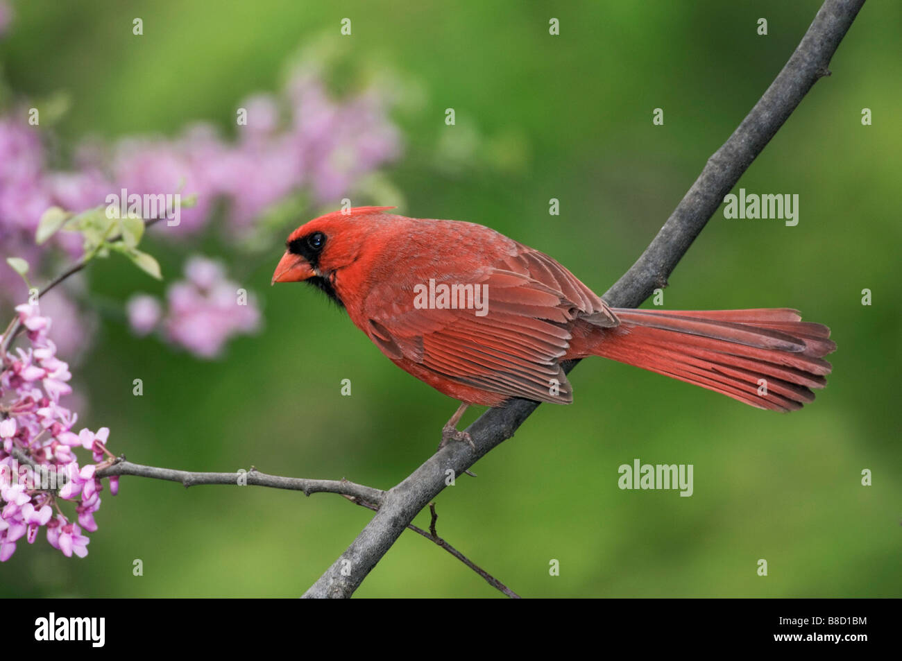 Male Northern Cardinal (Cardinalis cardinalis) Redbud Tree, Point Pelee National Park,Ontario - Stock Image