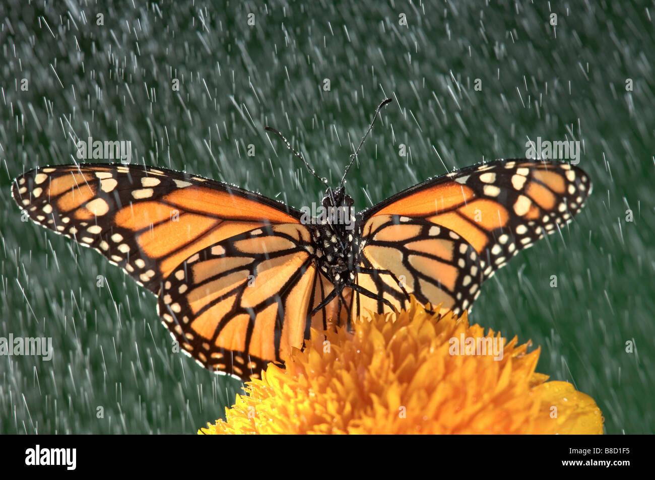 Monarch Butterfly (Danaus plexippus) Rain Sunflower, Nova Scotia - Stock Image