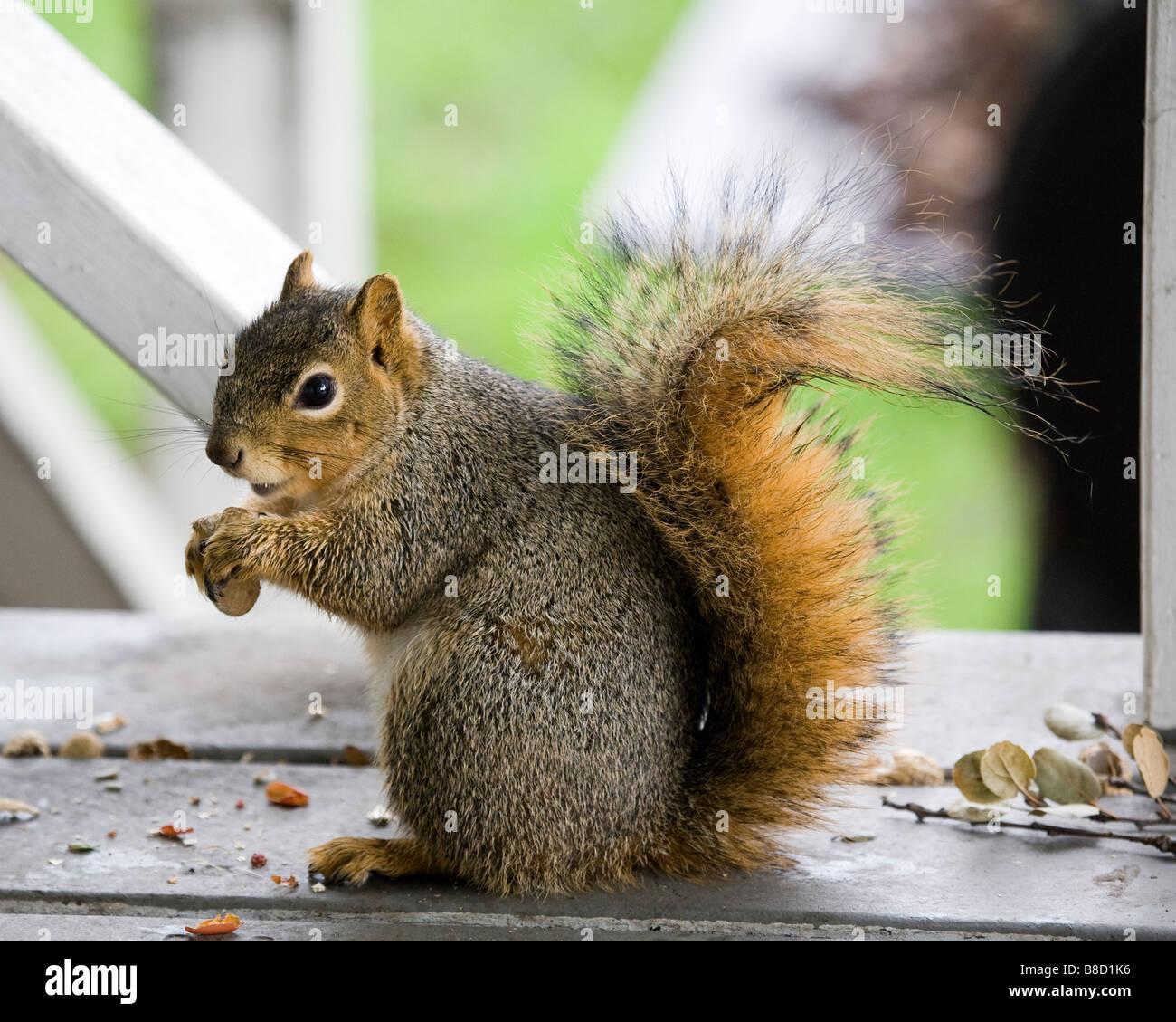 A pregnant female fox tree squirrel eats peanuts Stock Photo