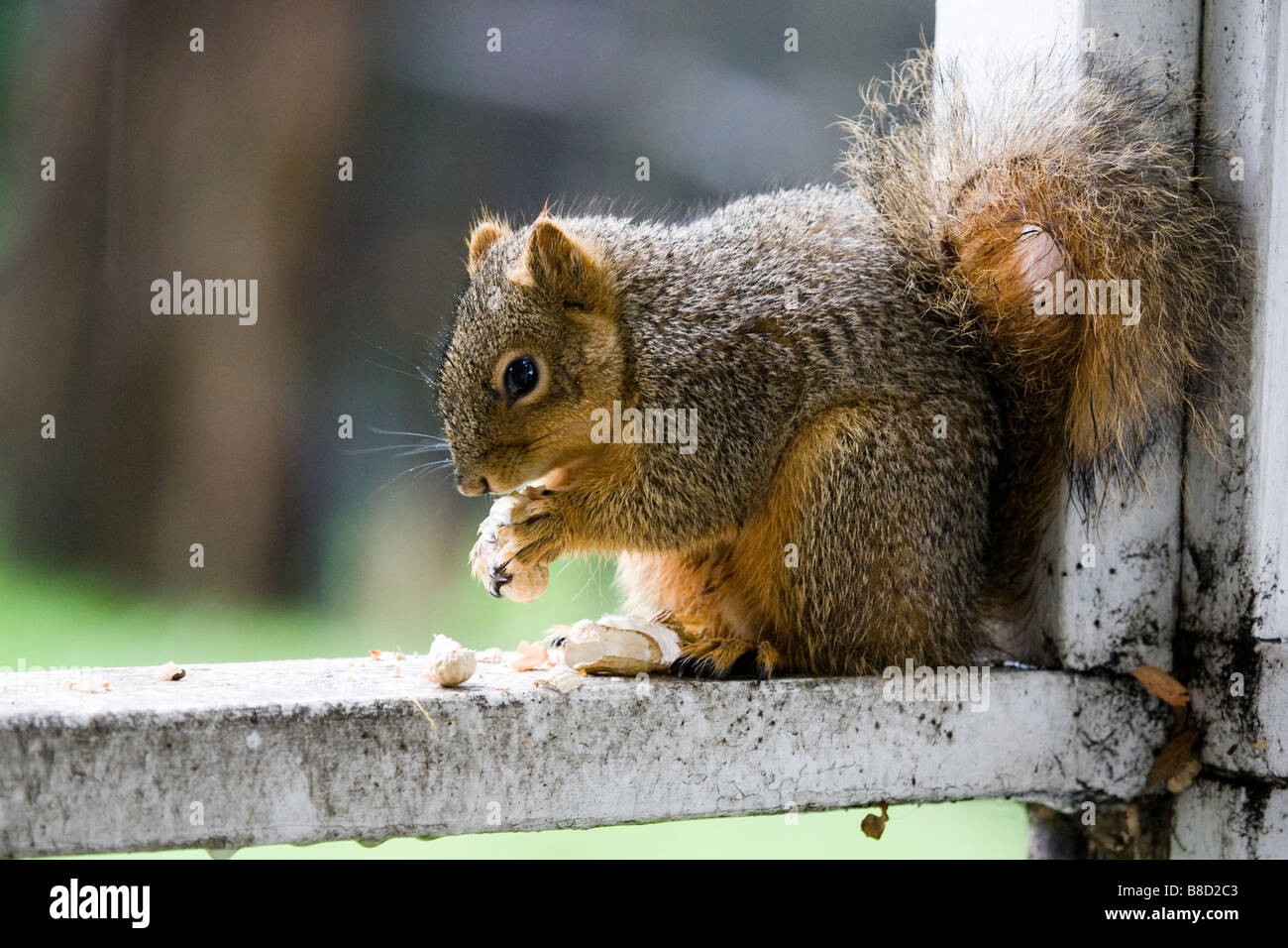 A male fox tree squirrel eats peanuts on a porch rail in California Stock Photo