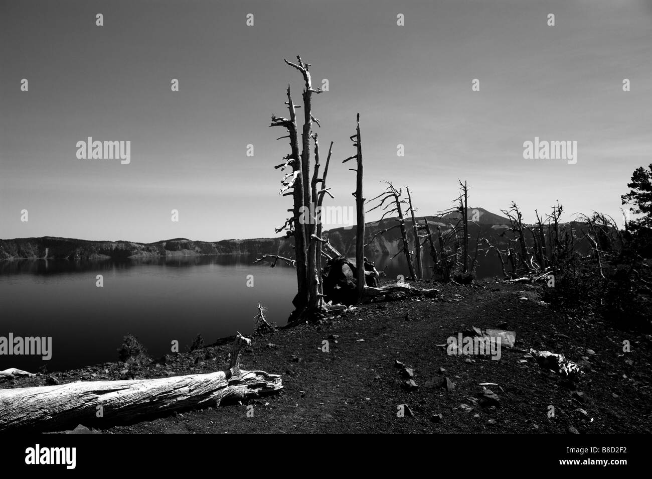 Dead trees on the crater rim. The Crater Lake National Park, Oregon, USA. Stock Photo