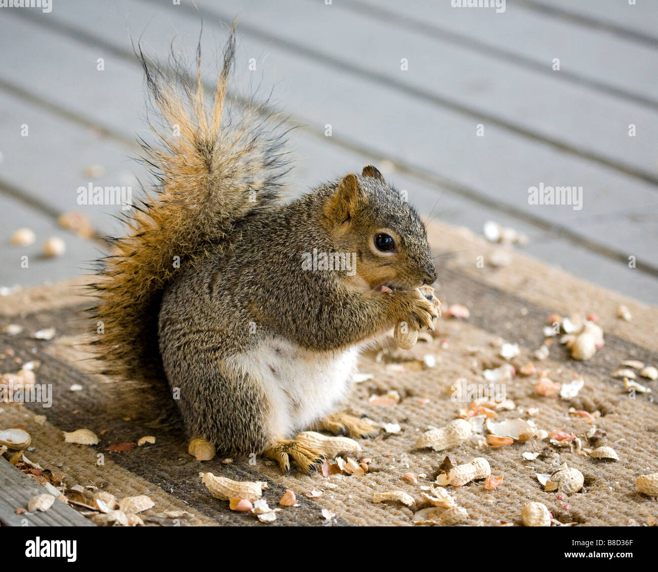 A pregnant female fox tree squirrel eats peanuts Stock Photo