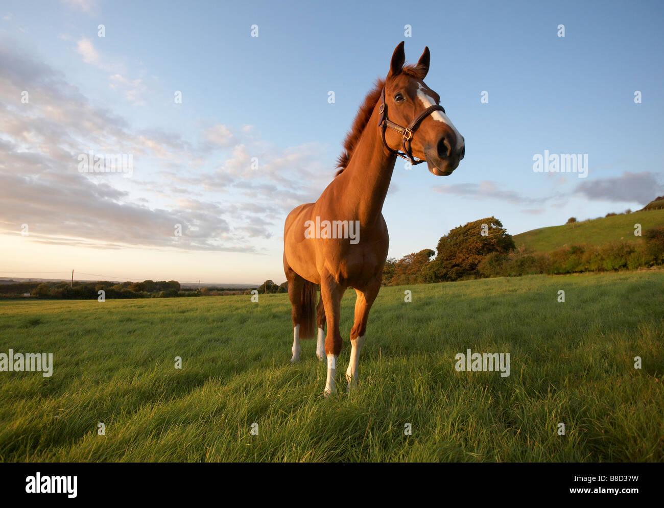 Horse Chestnut Stock Photos & Horse Chestnut Stock Images ... - photo#4