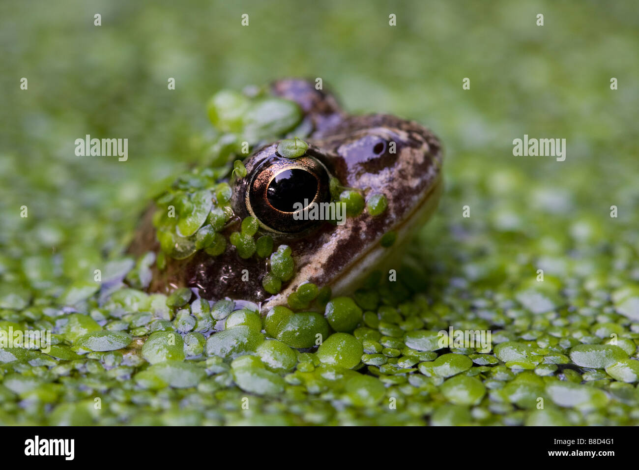 COMMON FROG (Rana temporaria) in garden pond, London, UK - Stock Image