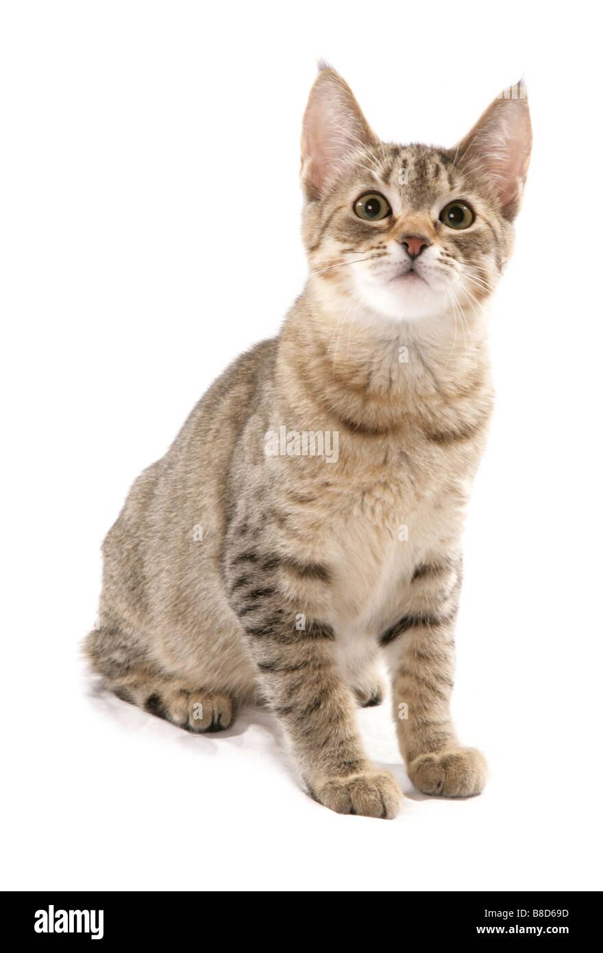 pixie bob cat sitting studio Stock Photo: 22417961 - Alamy
