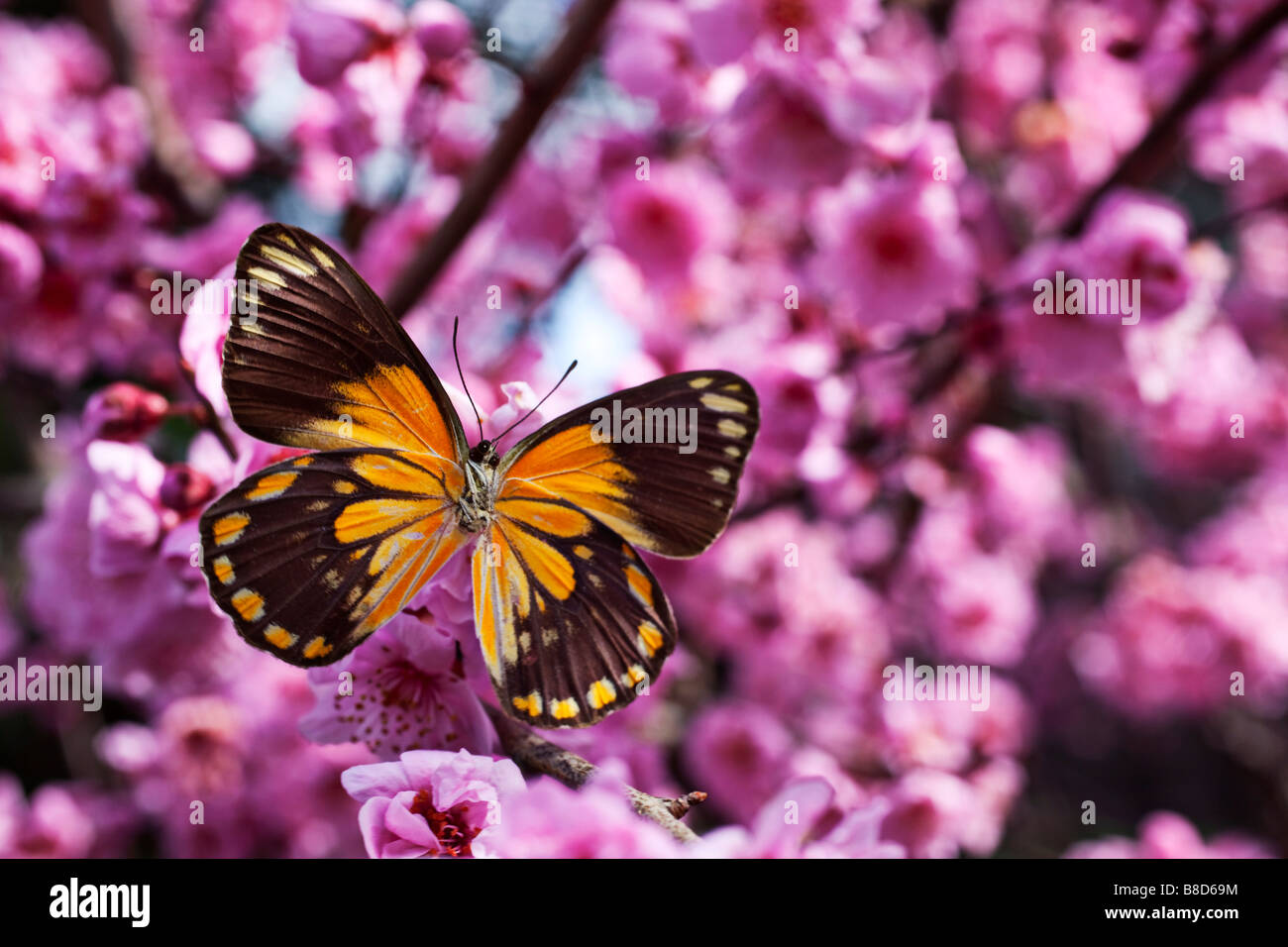 3462f139e Orange butterfly in cherry blossom tree Stock Photo: 22417968 - Alamy
