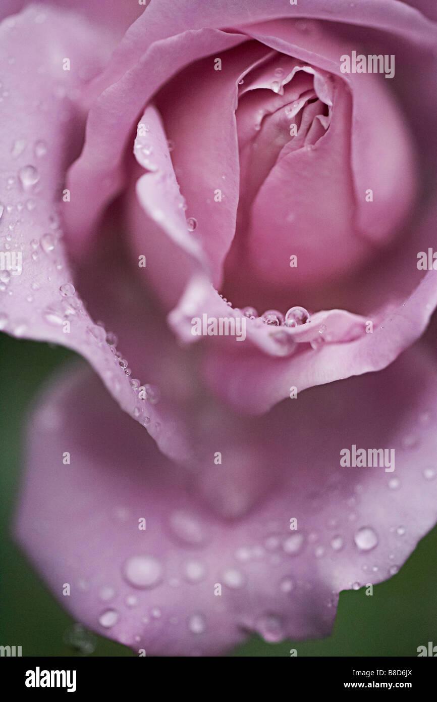 Rose Water Drops - Stock Image