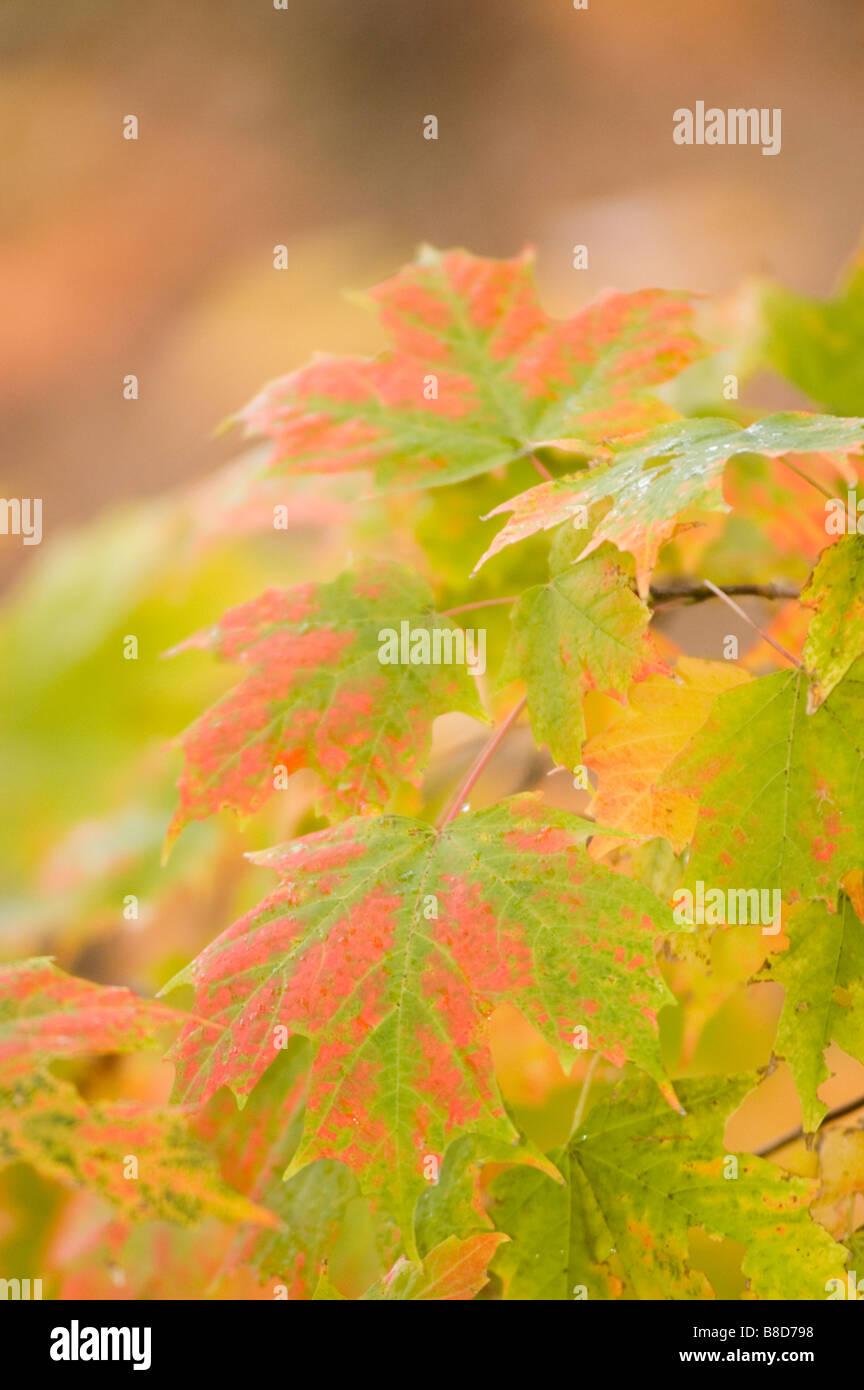 Autumn acer tree foliage, Autumn, trees, foliage, forest, leaf, leaves, color, colorful, fall, autumn, tourist, - Stock Image