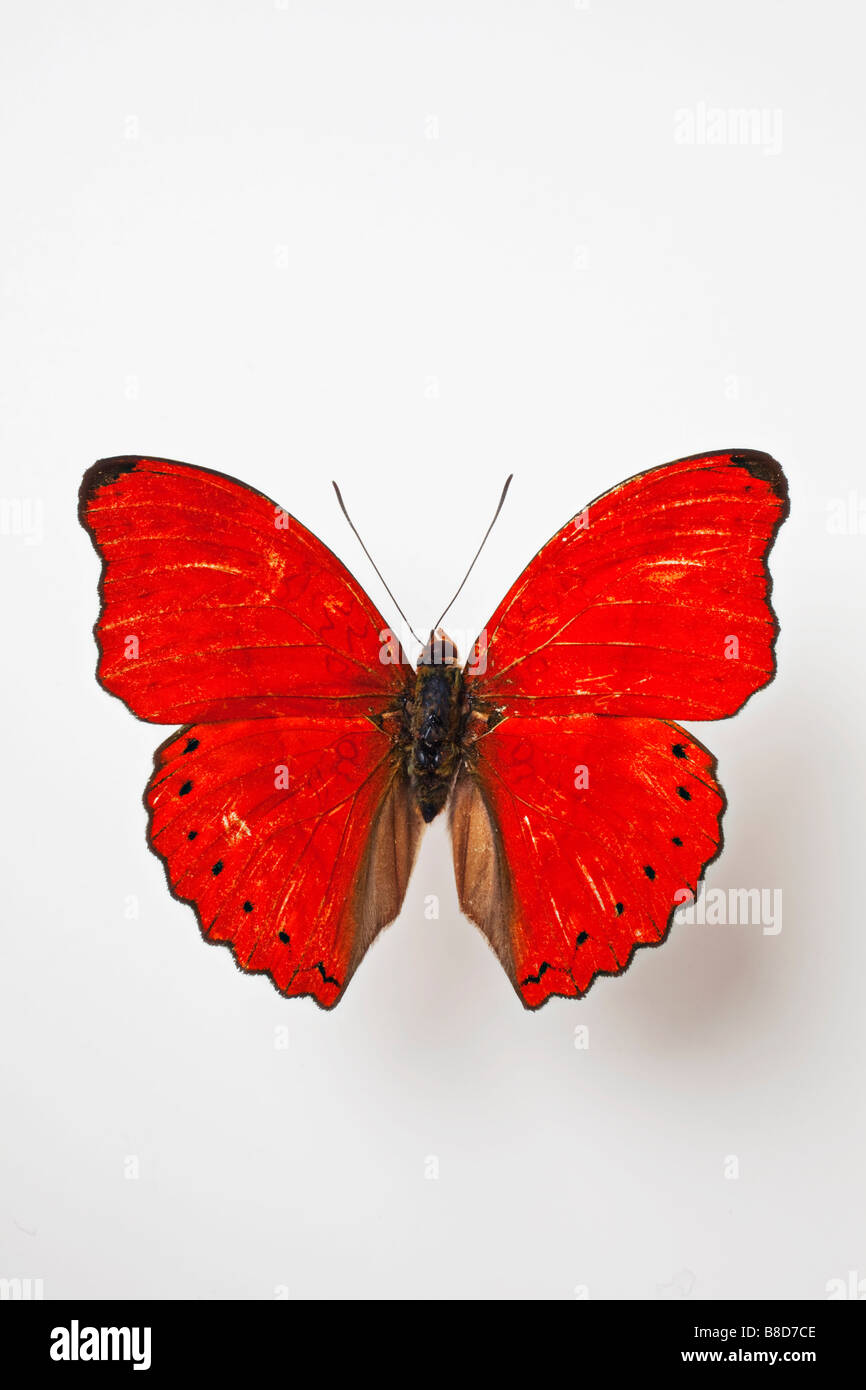 Red butterfly Cymothoe Sangaris Centrafrique - Stock Image