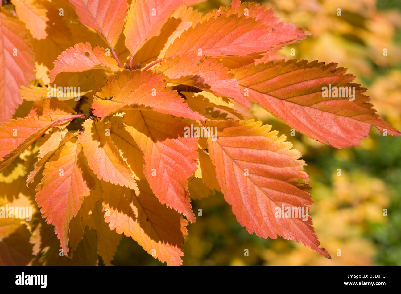 Red yellow autumn leaves of cherry tree, prunus x hillieri Kornicensis, Rosaceae family - Stock Image