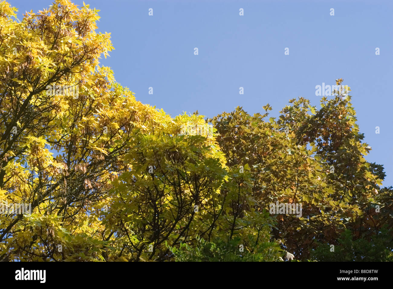 Yellow autumn leaves of Red Ash Tree, Fraxinus Pennsylvanica Crispa, Oleaceae - Stock Image
