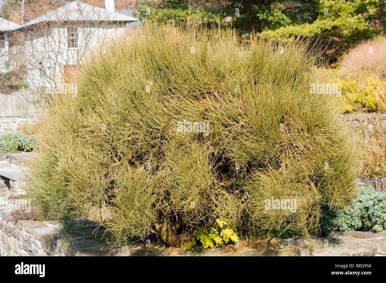 Bluestem joint fir, Ephedra equisetina, Ephedraceae - Stock Image