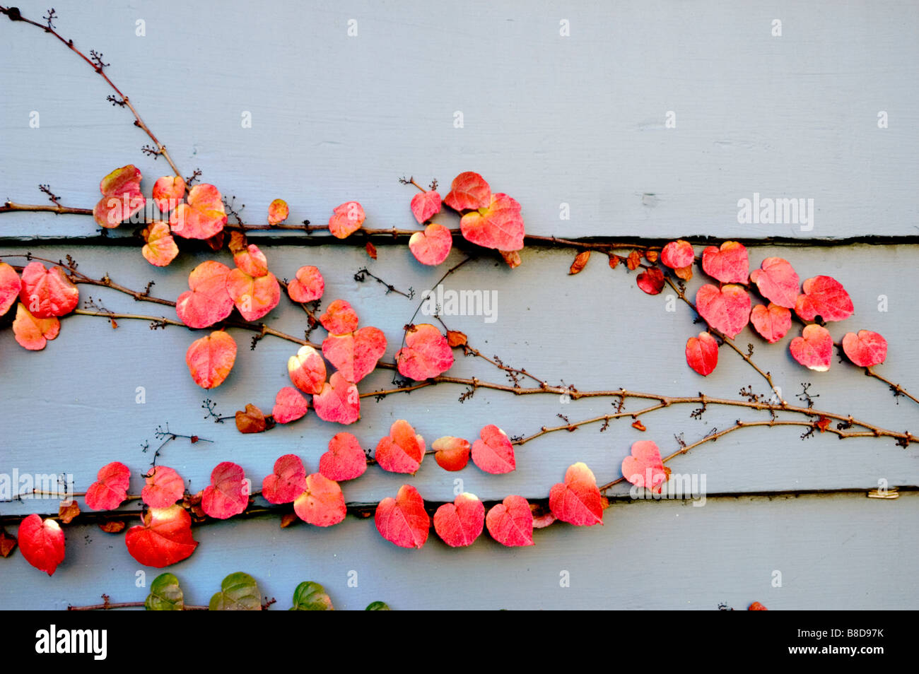 Red autumn vine leaves covering siding wooden wall - Stock Image