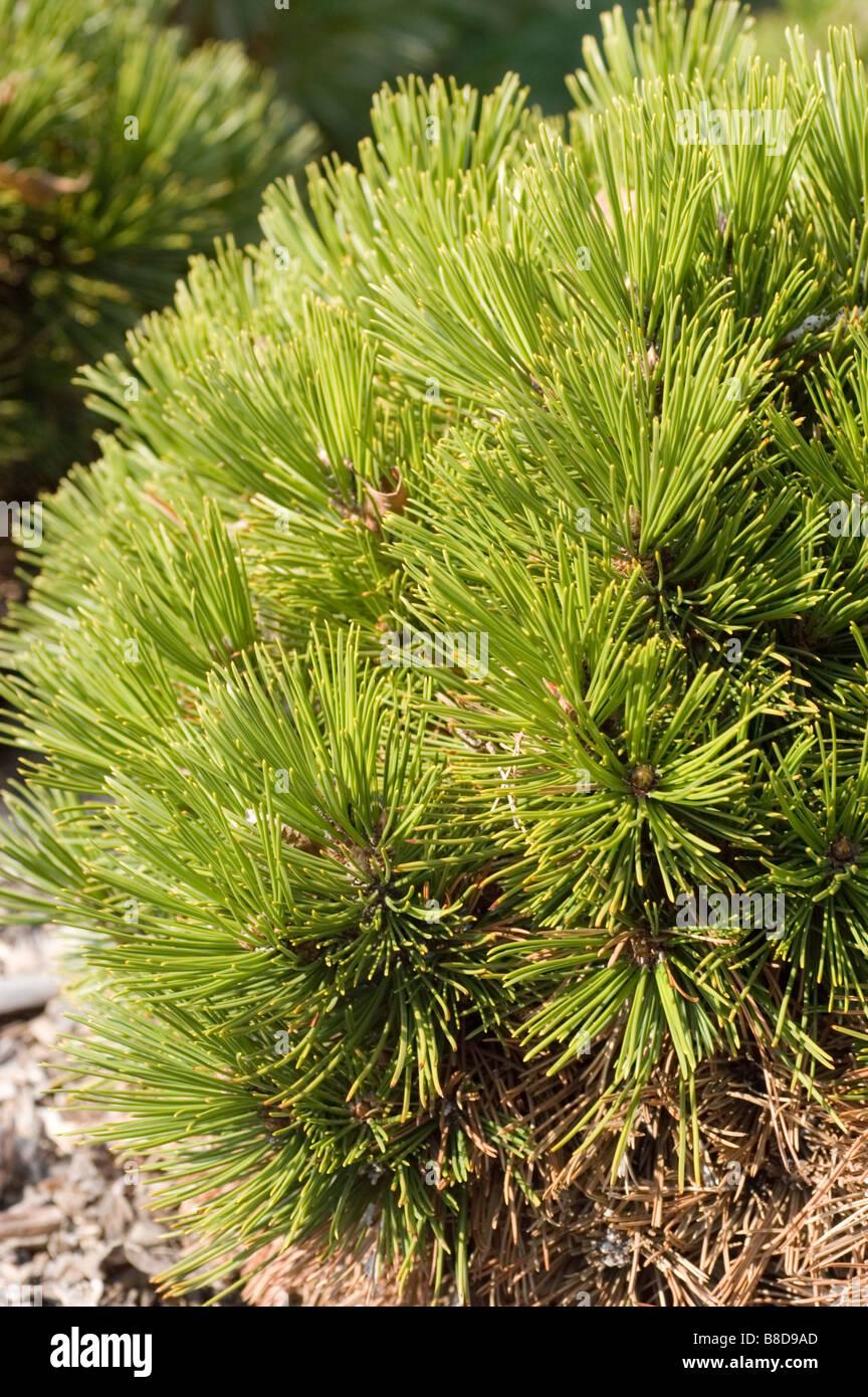 Bosnian Pine, Pinus Leucodermis Schmidtii - Stock Image