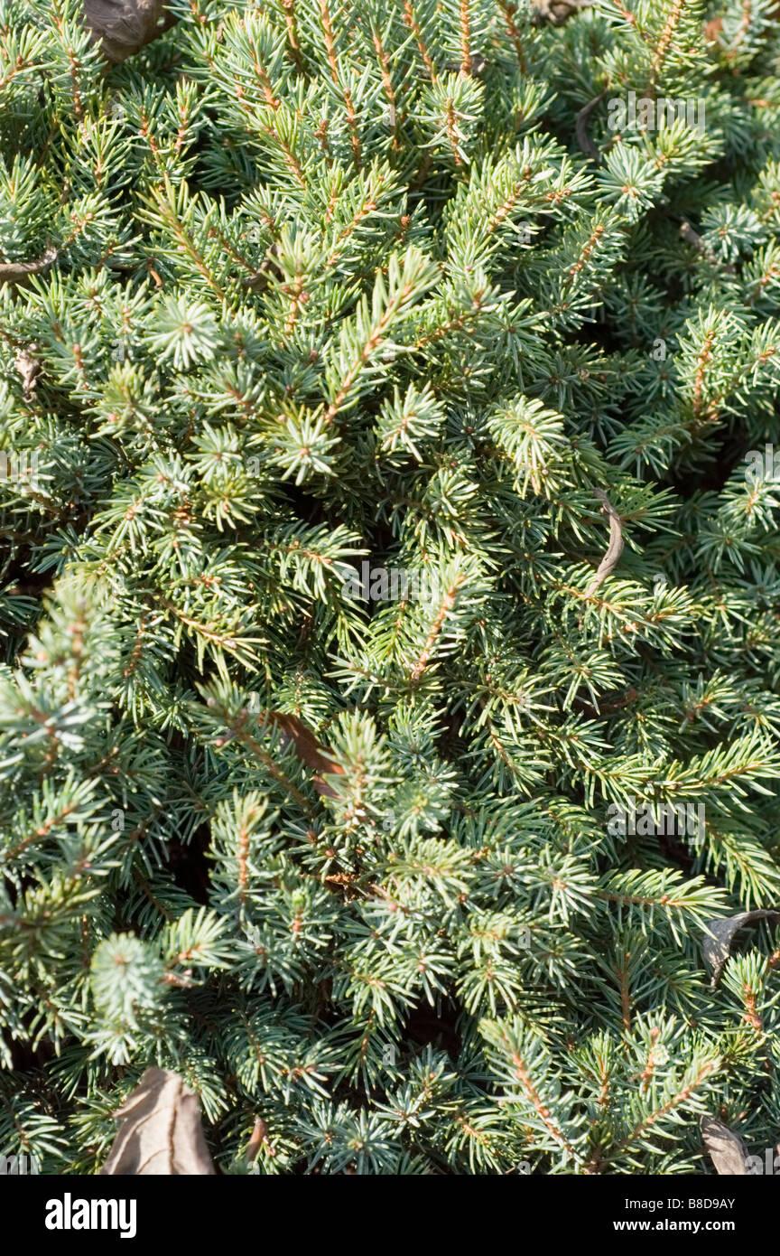 White Spruce, Picea Glauca Echiniformis, Pinaceae family - Stock Image