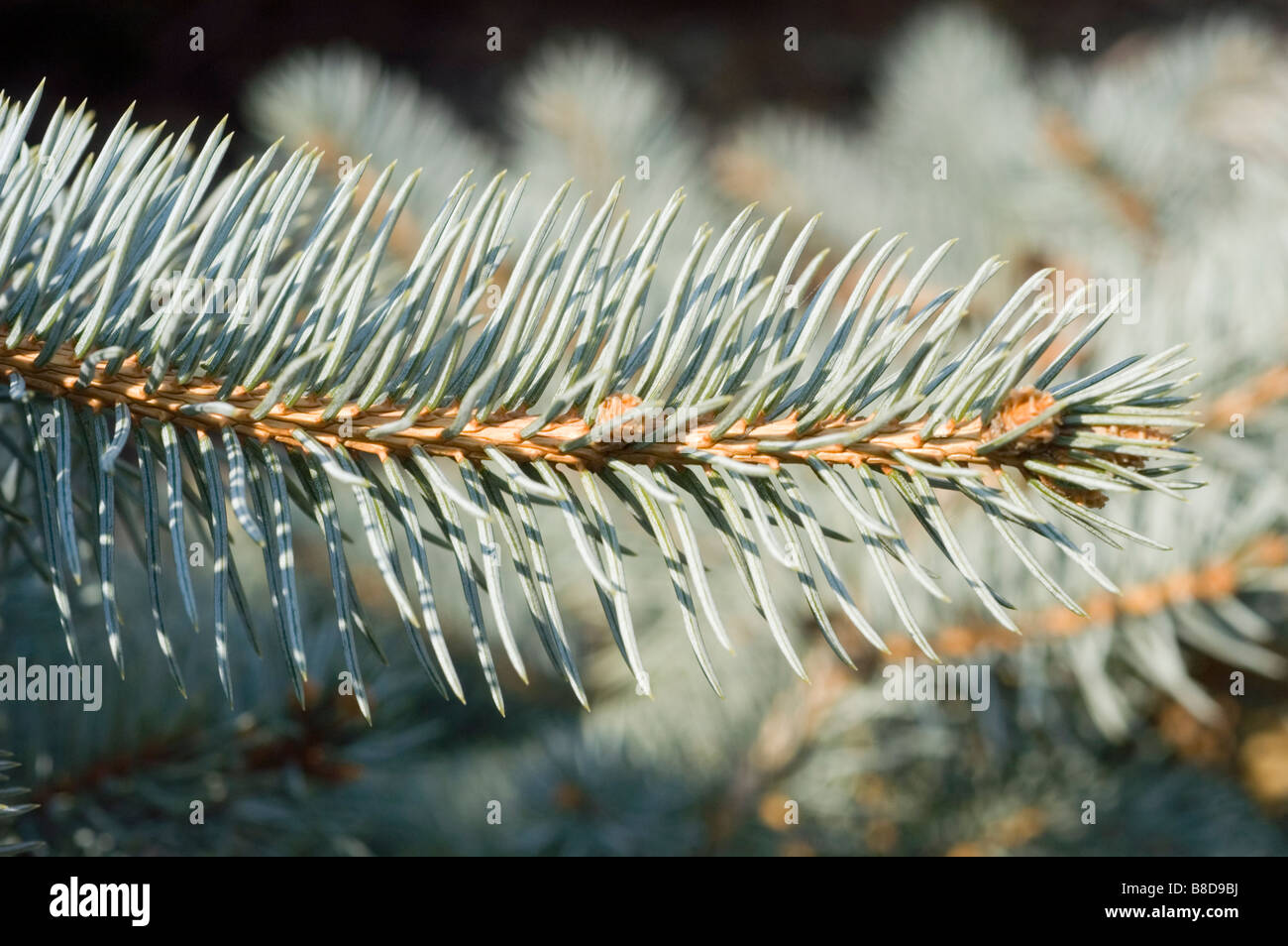 Colorado Spruce, Picea Pungens Procumbens, Pinaceae family - Stock Image