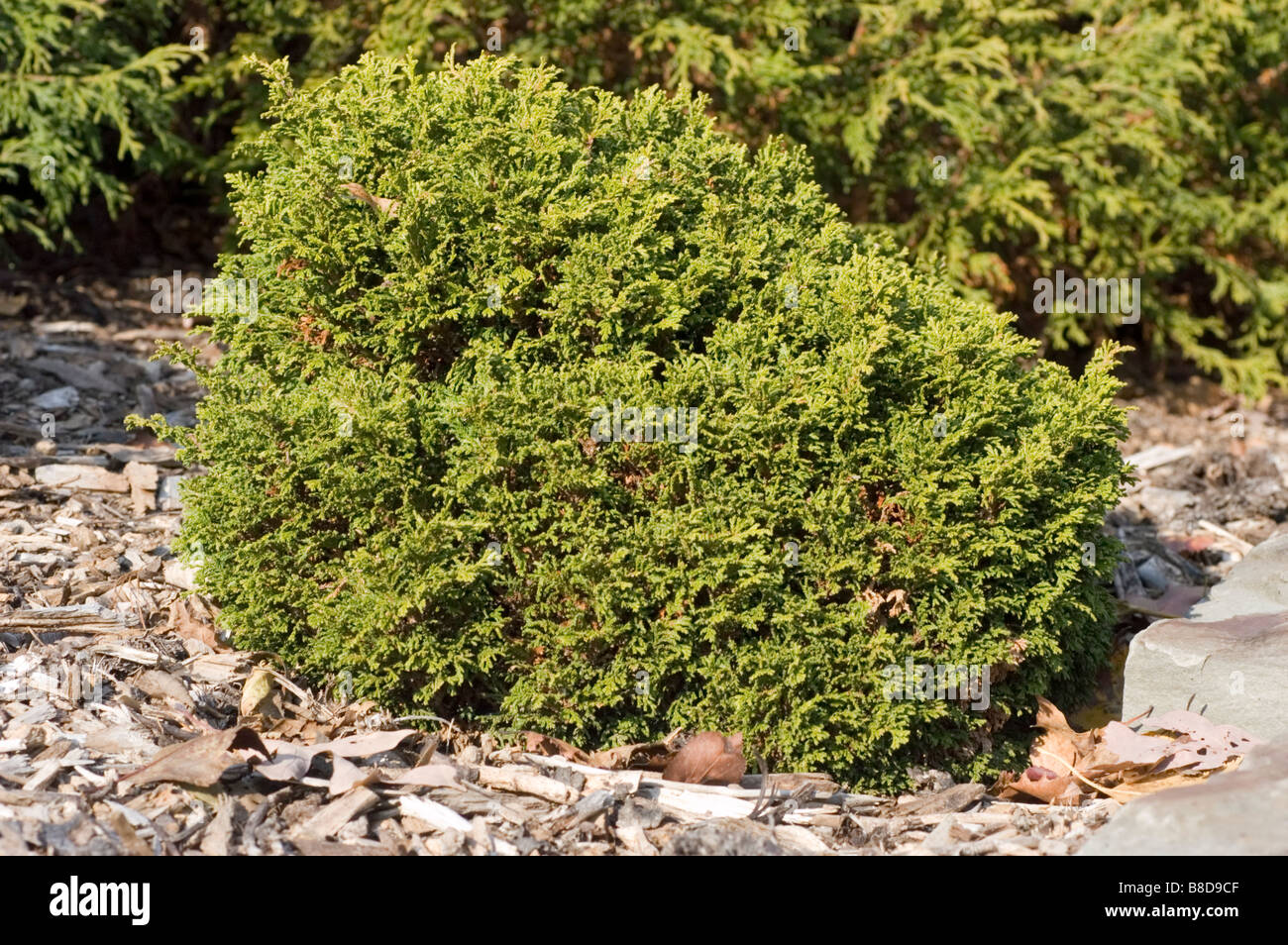 Dwarf Sawara False Cypress, Chamaecyparis Pisifera Tsukomo, Cupressaceae Family - Stock Image