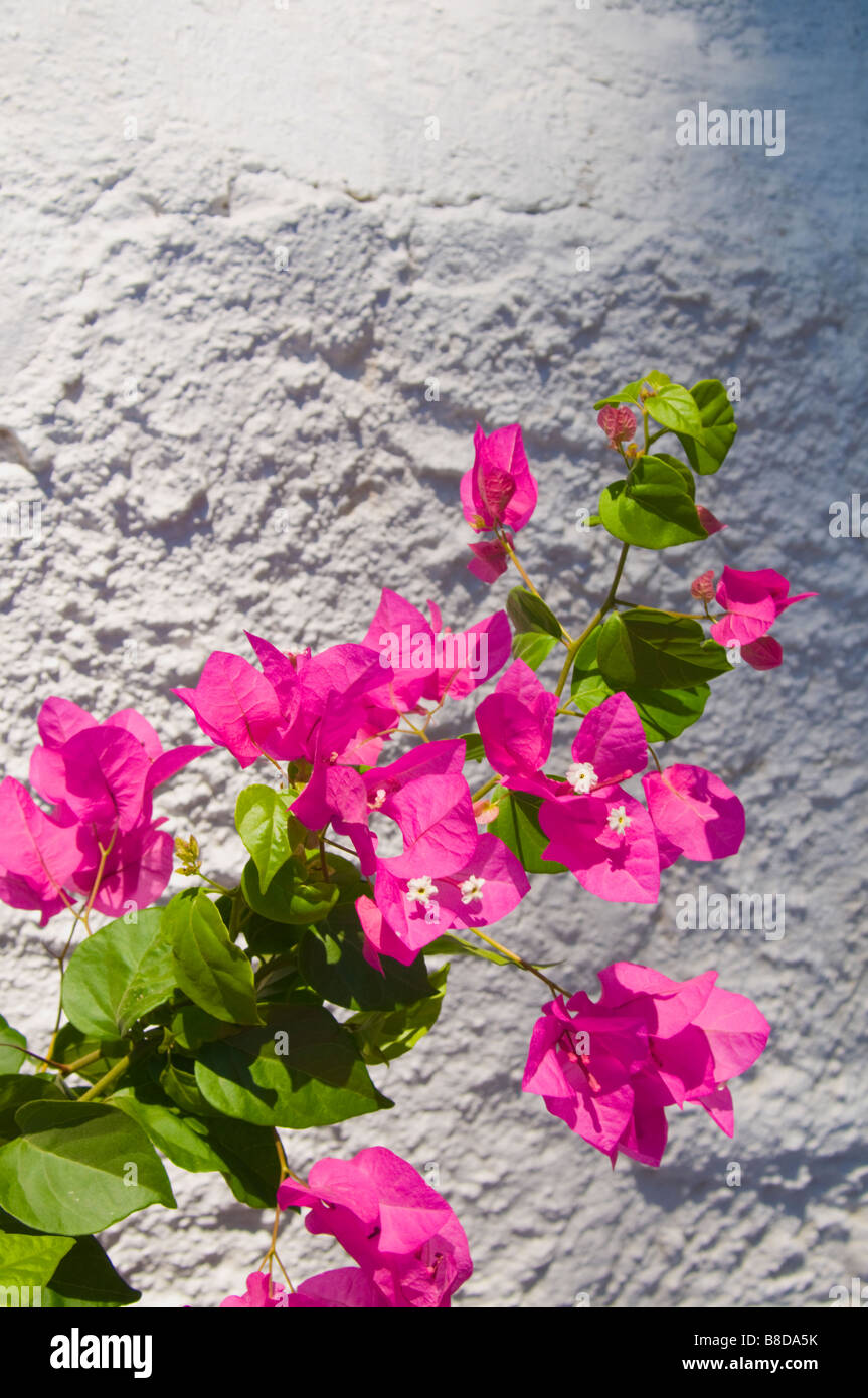 Bougainvillea spectabilis Crete Greece July - Stock Image