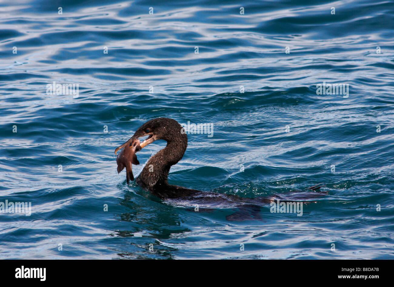 Galapagos Flightless cormorant, Nannopterum harrisi, with fish in bill at Isabela Island, Galapagos Islands, Ecuador - Stock Image