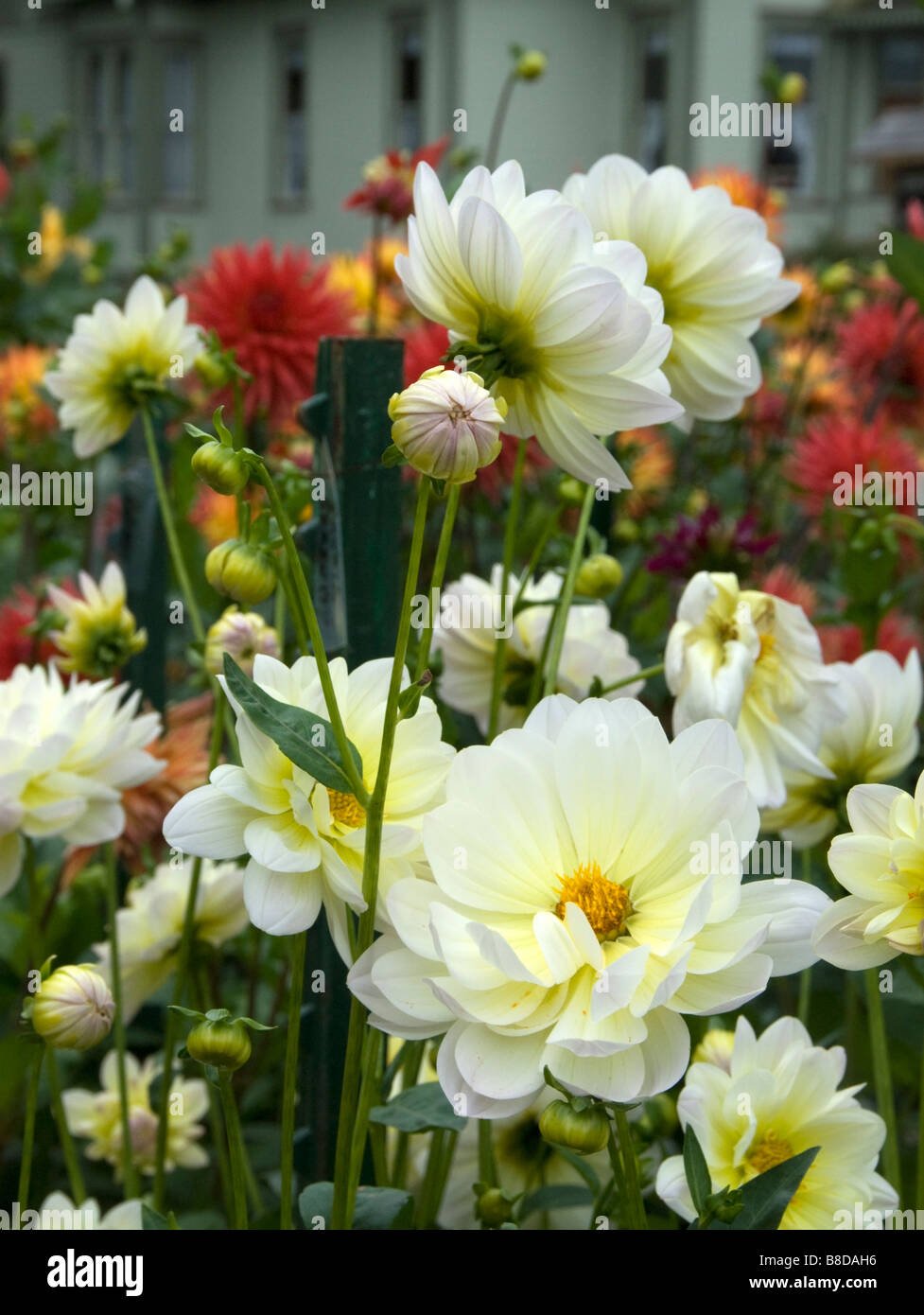 A Beautiful Dahlia Flower Garden Growing In Front Of An Old Historic Stock Photo Alamy