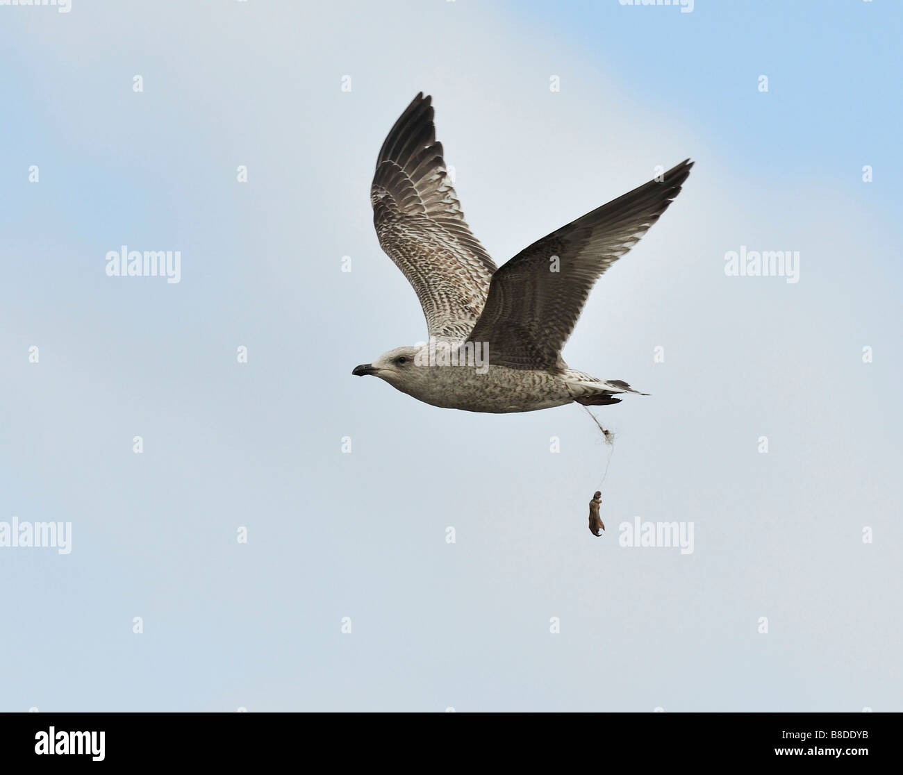 Seagull, fishing line amputated its foot. - Stock Image