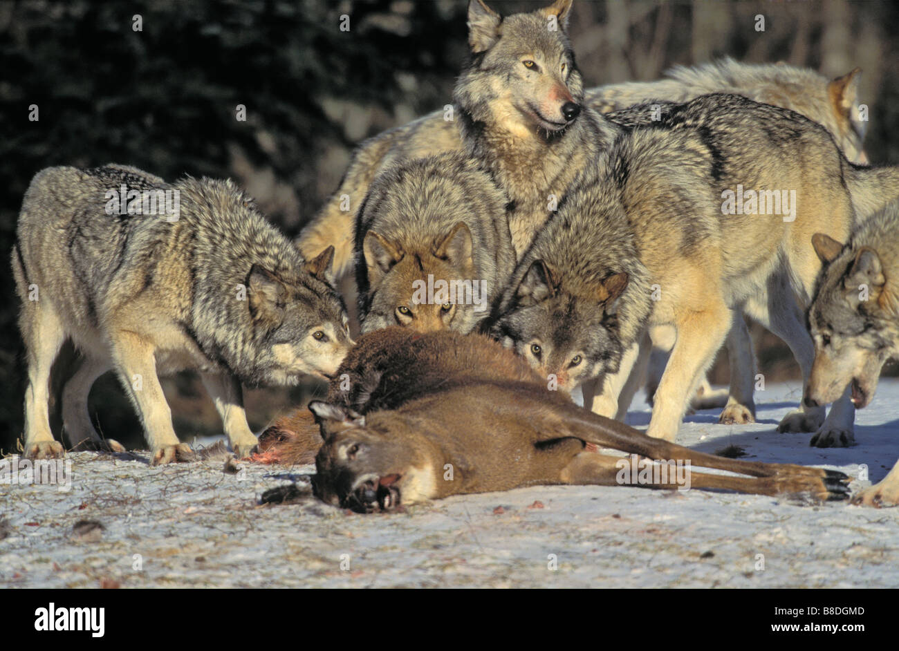 timber wolf group hunt stock photos timber wolf group hunt stock