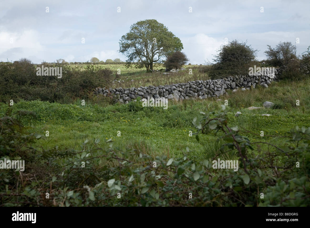 Photograph of a tree with stone walls in the Irish countryside - Stock Image