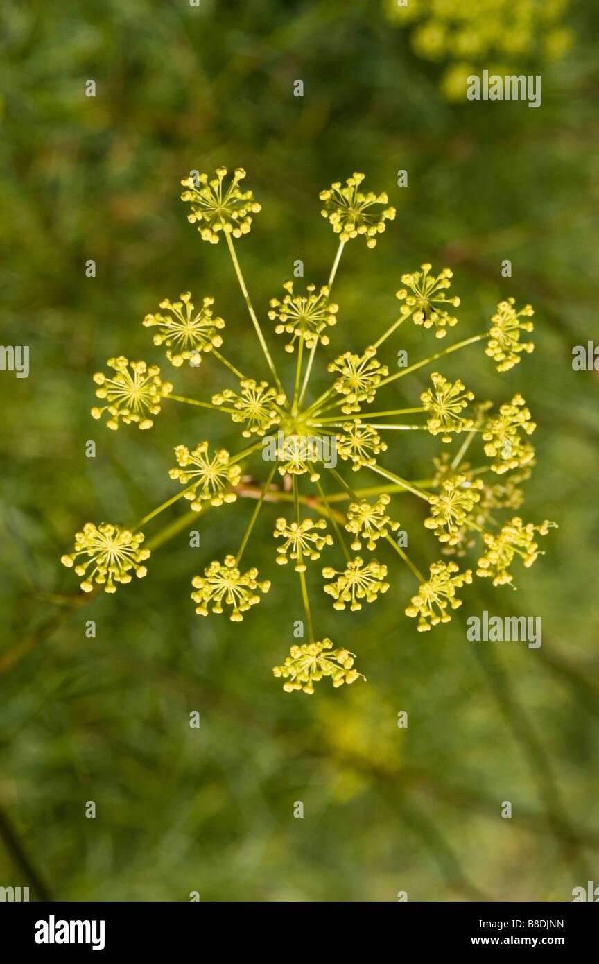 Yellow Flowers Of Apiaceae Stock Photos Yellow Flowers Of Apiaceae