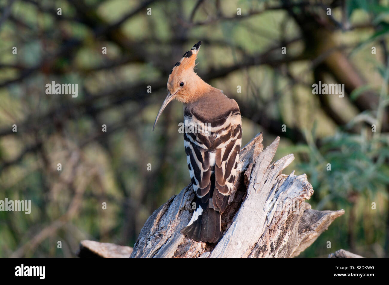 Wiedehopf (Upupa epops) - Hoopoe Stock Photo