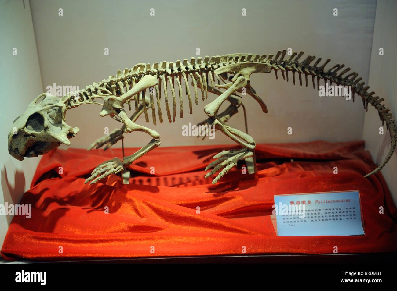 Dinosaur Fossil - Psittacosaurus - Stock Image