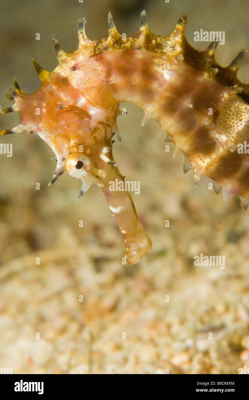 Thorny seahorse - Stock Image