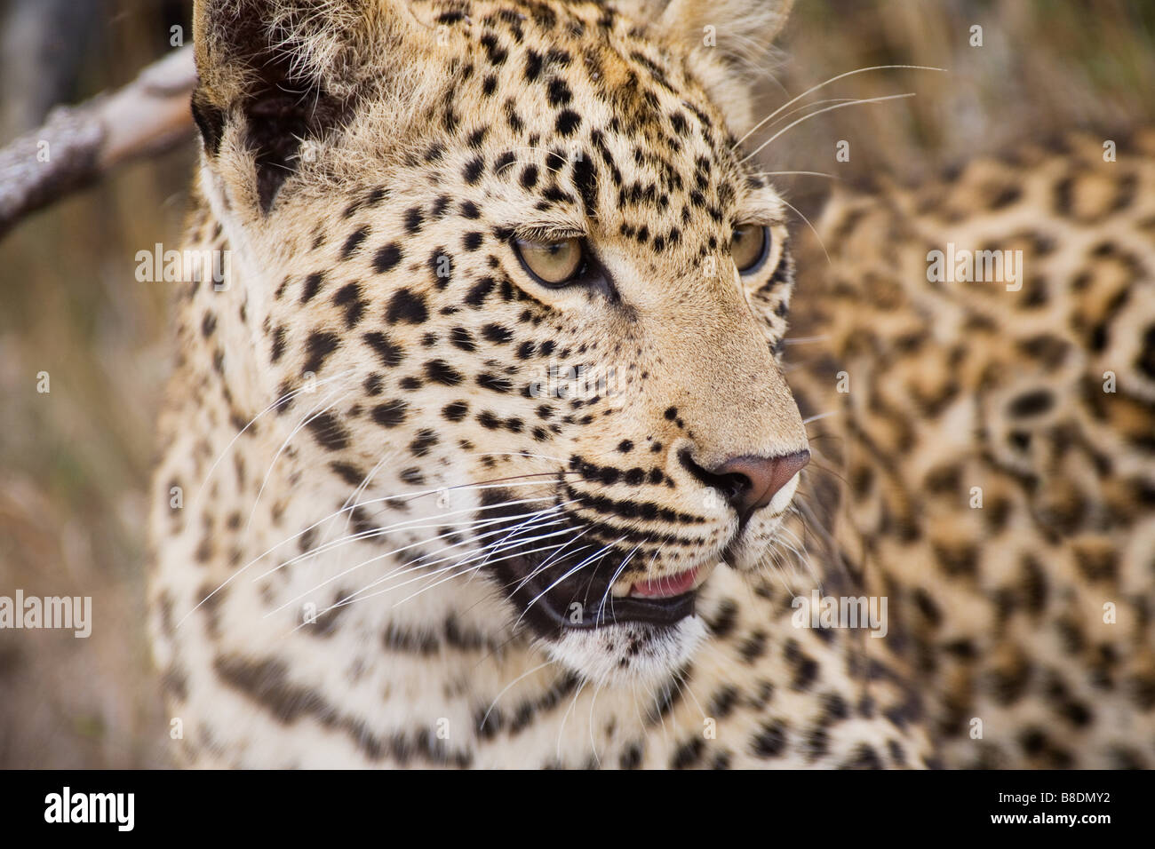 Leopard - Stock Image
