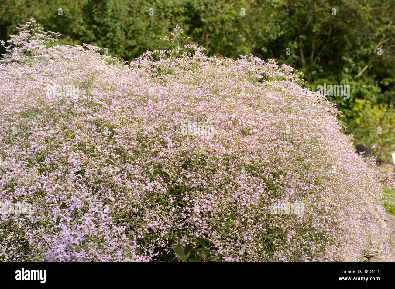 Sea Lavender , Plumbaginaceae, Limonium latifolium, Europe - Stock Image
