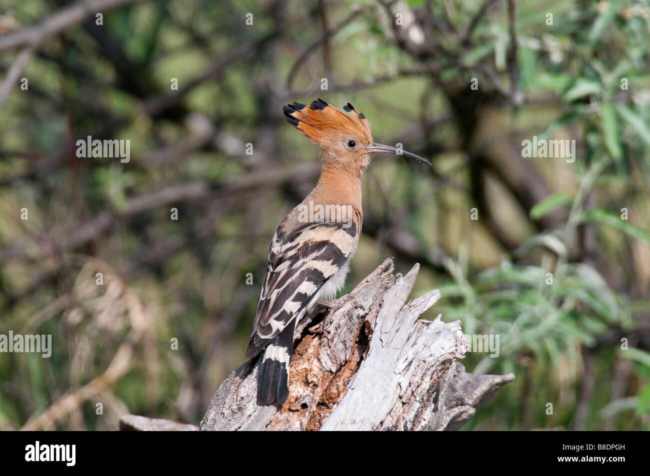 Wiedehopf (Upupa epops) - Hoopoe Stock Photo