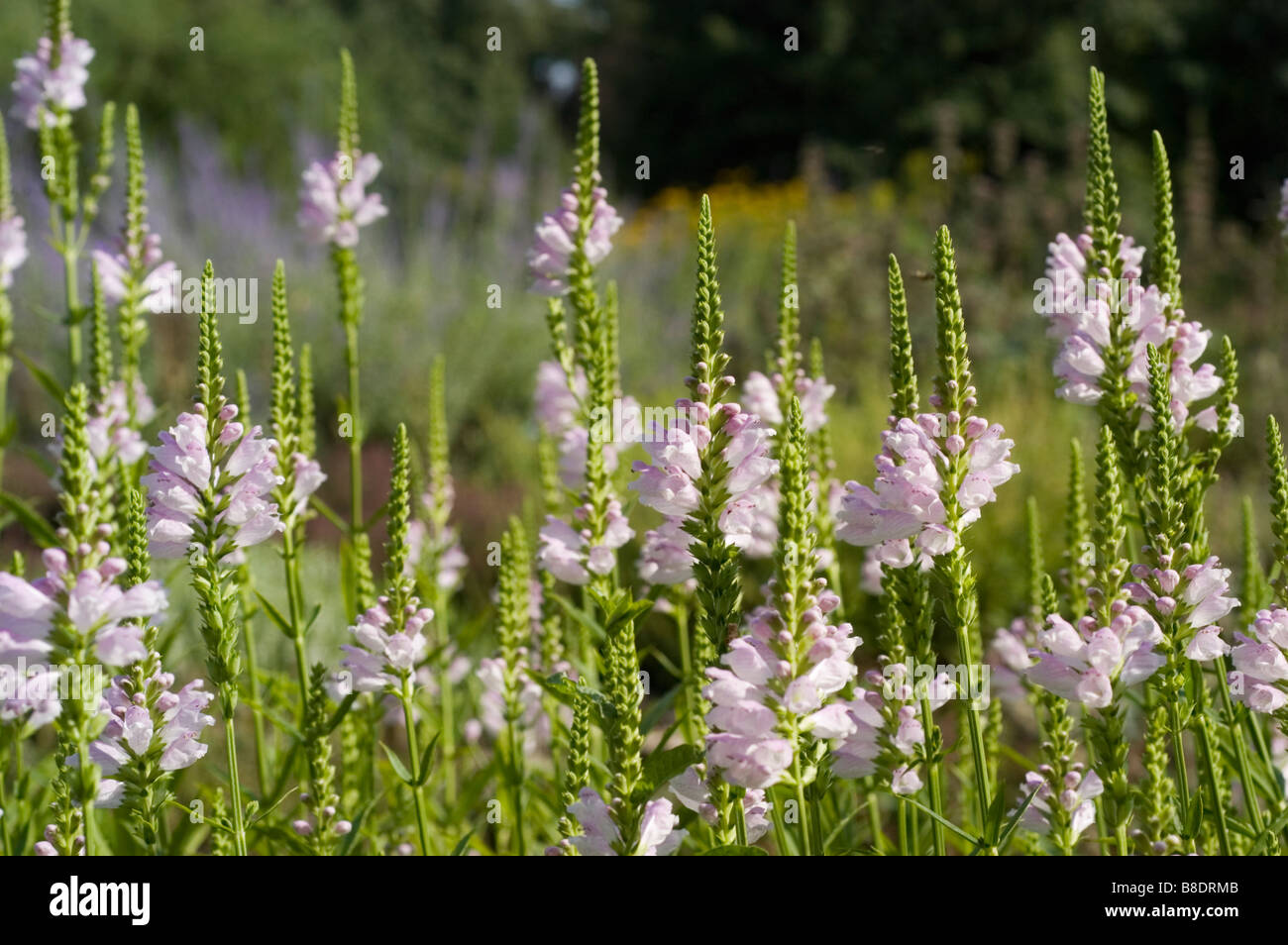 Flowers of obedient plant , Physostegia virginiana, North America, USA, Canada - Stock Image