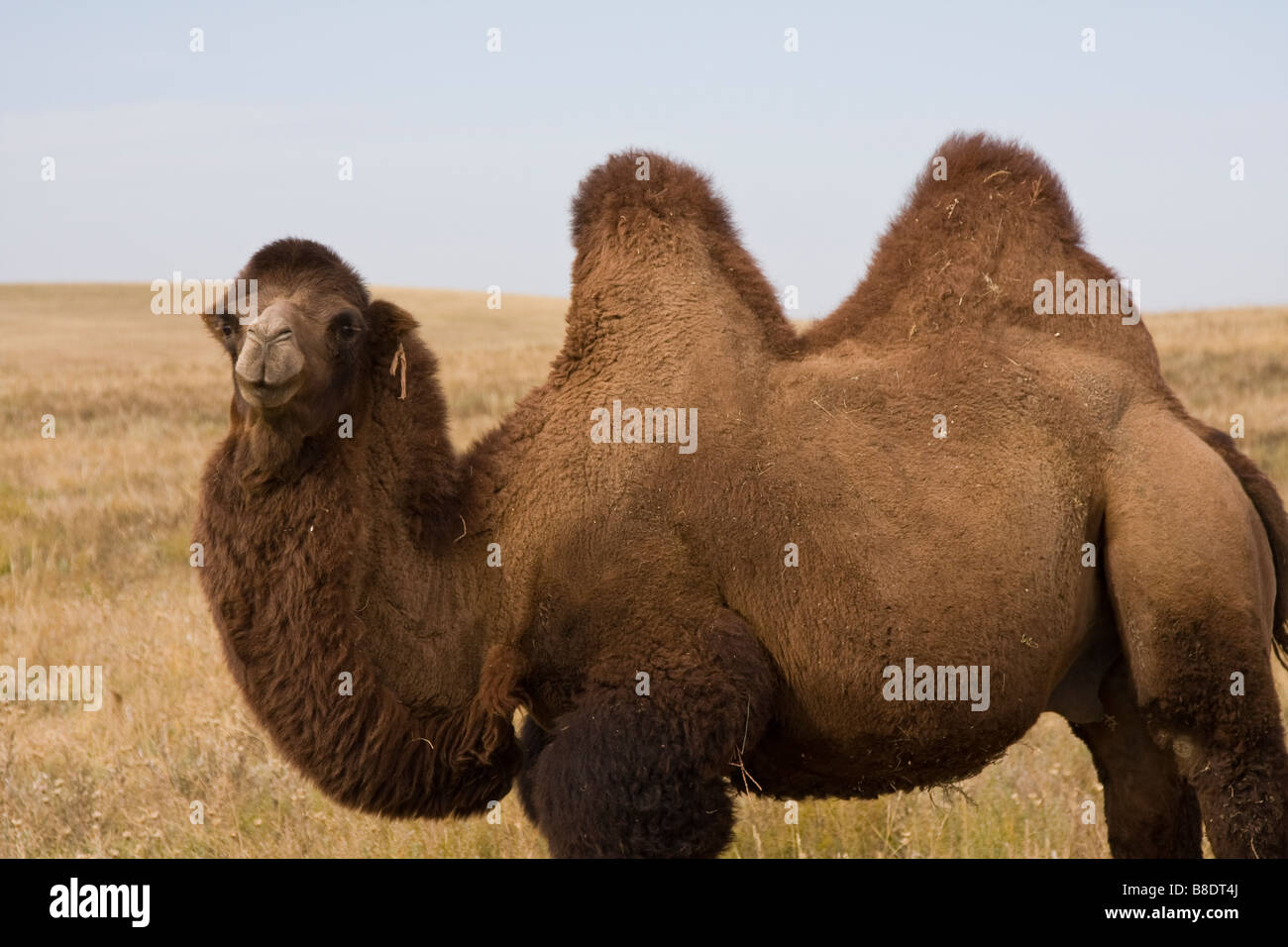 Mongolian Camel Two Humps