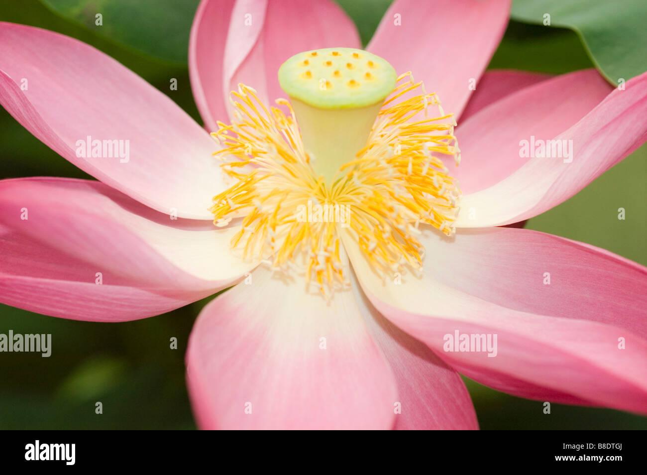Nelumbo nucifera stock photos nelumbo nucifera stock images alamy pink yellow flower of nelumbo nucifera indian lotus sacred lotus bean of india izmirmasajfo Choice Image