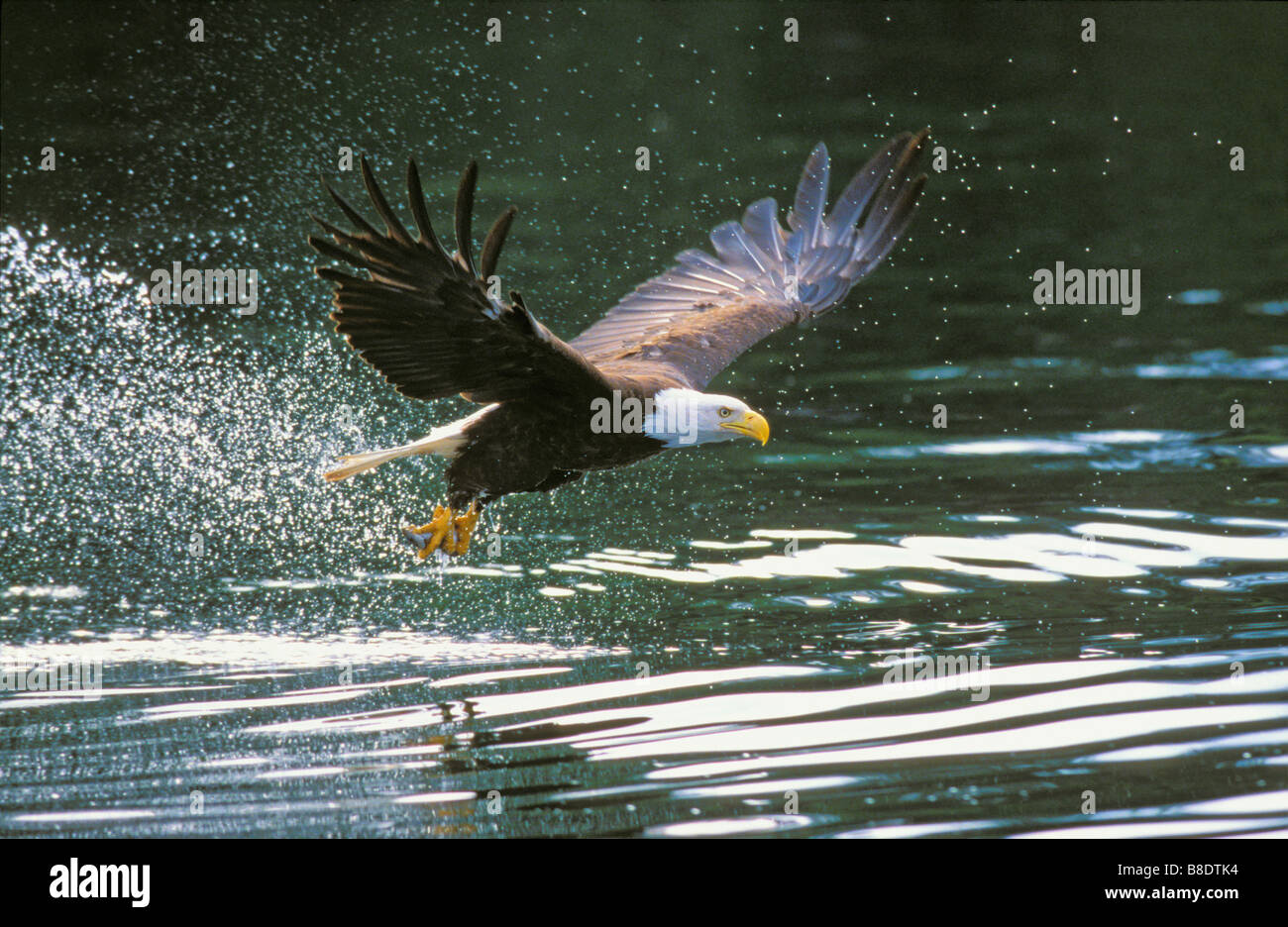 tk0699, Thomas Kitchin; Bald Eagle fish talons  Coastal British Columbia, Canada  Haliaeetus leucocephalus - Stock Image