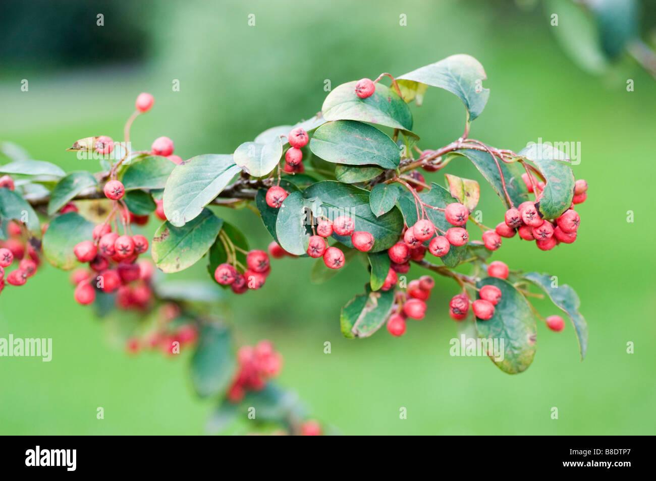 Red berries of Rosaceae, Cotoneaster roseus, Himalayas, Afghanistan - Stock Image