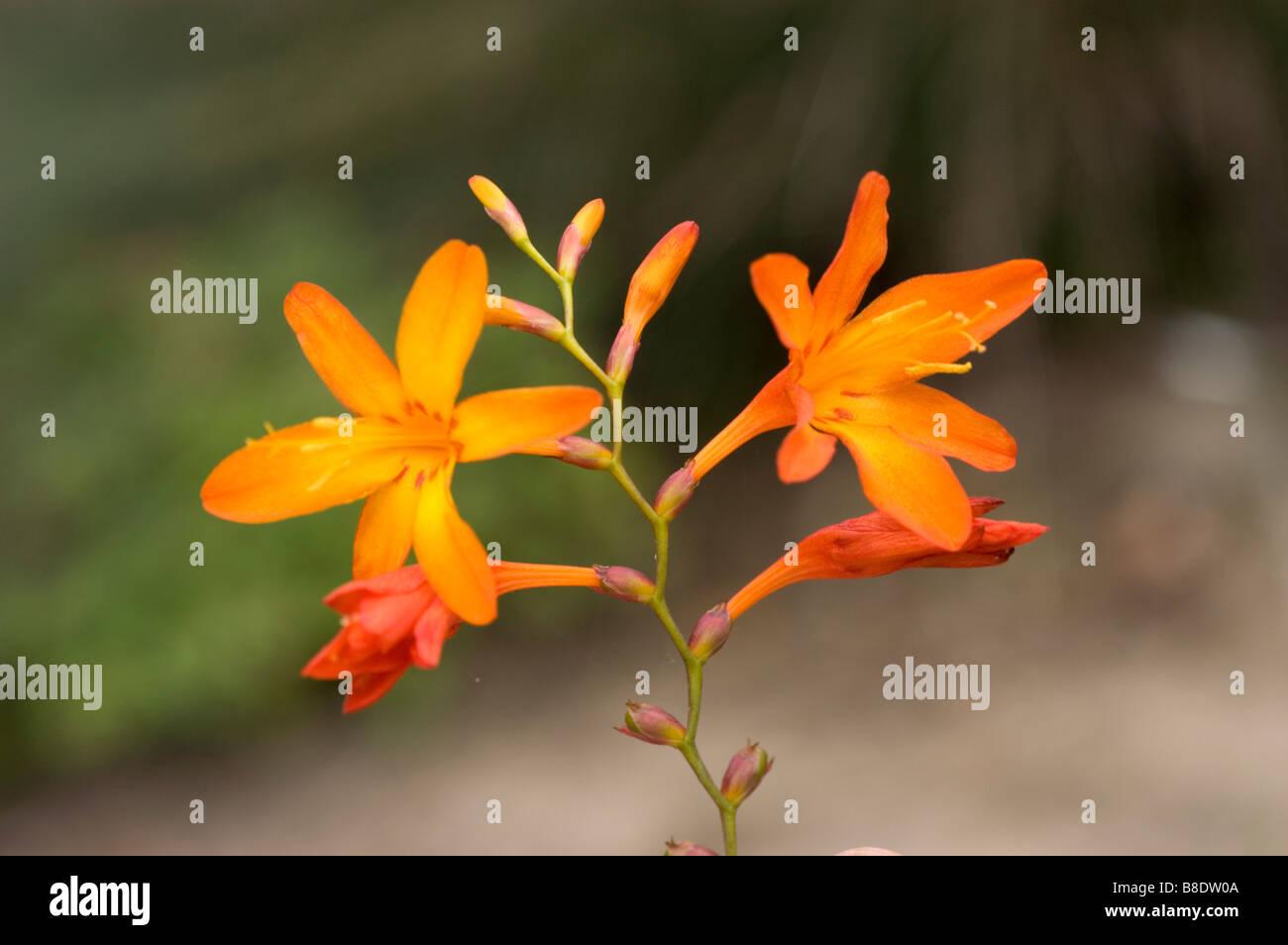 Oragne yellow flowers of Montbretia, Iridaceae, Crocosmia x crocosmiflora - Stock Image