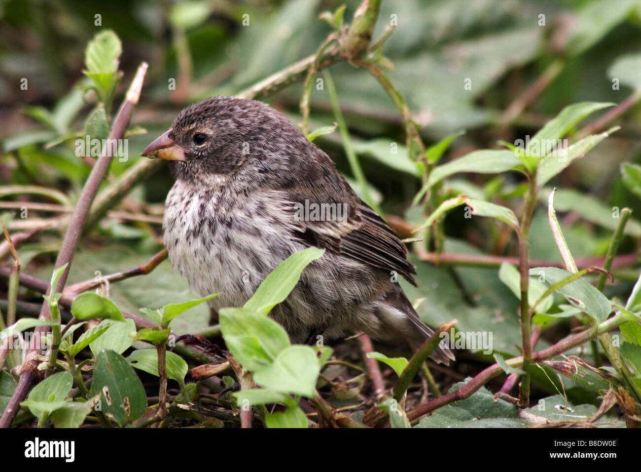 Darwin vegetarian finch, Platyspiza crassirostris, looking for food at Puerto Ayora Highlands, Santa Cruz Island, - Stock Image